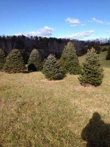 blue-spruce- Christmas Tree Farm Virginia