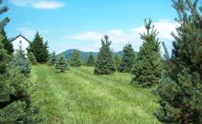 More Trees - Christmas Tree Farm Virginia