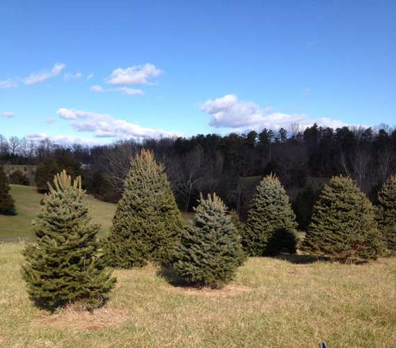 trees - Christmas Tree Farm Virginia