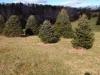 blue-spruce- Christmas Tree Farm Virginia