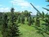 Rock Farm - Christmas Tree Farm Virginia