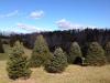trees - Christmas Tree Farm Virginia